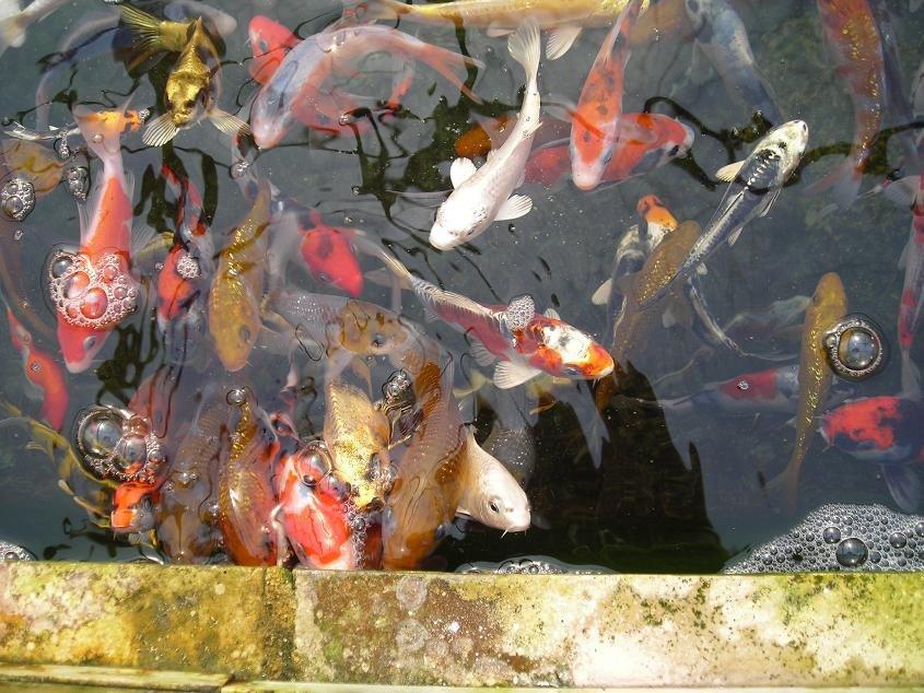 La nourriture des koi at bassin koi for Nourriture carpe koi