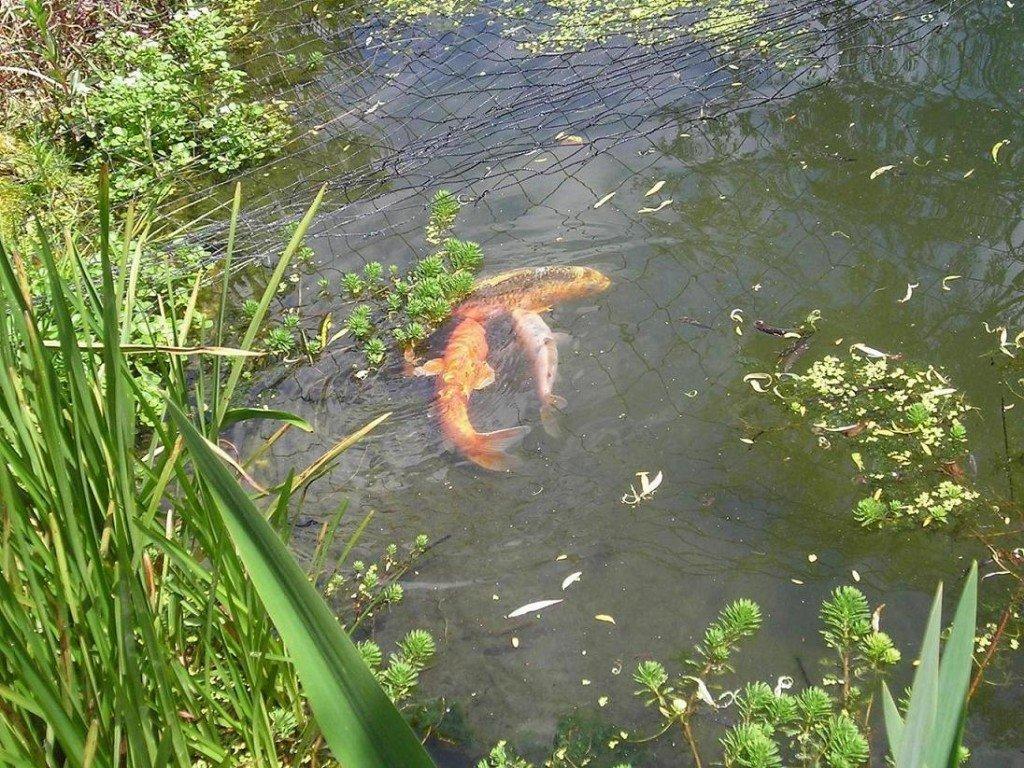 Reproduction des carpes koi at bassin koi for Elever des carpes